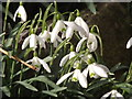 SU7135 : Snowdrops by Colin Smith