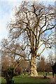 TL3500 : Plane Tree, Cedars Park, Cheshunt, Hertfordshire by Christine Matthews