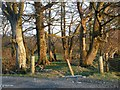 NS1068 : Shelter belt corner on the road to Mid Ardyne by Alan Reid