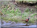 NZ8512 : Pheasants, Sandsend Beck by Mike Kirby