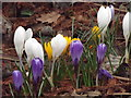 TQ0658 : Wisley Crocuses by Colin Smith