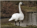 SO7104 : Trumpeter Swan by David Dixon
