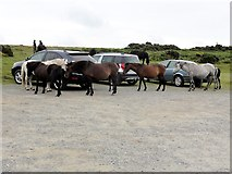 SX6870 : Ponies in the Car Park by Tony Atkin