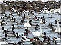 SO7204 : Wildfowl at Slimbridge by David Dixon