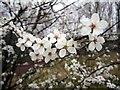 NZ2063 : Wild Plum (Prunus domestica) by Andrew Curtis