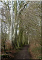 SK1574 : Line of beech trees in Tideswell Dale by Andrew Hill