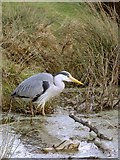 TQ1873 : Hunting for frogs - Heron at Bishop's Lodge Pond, Richmond Park by Stefan Czapski