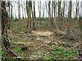 SE4429 : Woodland floor in springtime by Christine Johnstone