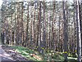 NH4840 : Yellow-banded pine trees by Craig Wallace