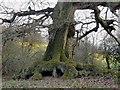 TQ1248 : Roots and bole of an oak tree, near Wotton church by Stefan Czapski