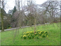 SE2955 : Daffodils in Valley Gardens by Marathon