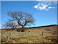 NY5310 : Big oak tree, Wet Sleddale deer enclosures by Karl and Ali