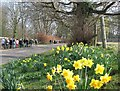 TL4346 : Thriplow: daffodils and walkers by John Sutton