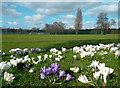 TQ4374 : Crocuses in Eltham Park by Des Blenkinsopp