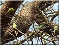TQ2073 : Parakeets in Barn Wood (1) by Rob Farrow