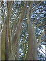 TQ4258 : Detail of cedar, Aperfield Road by Stephen Richards