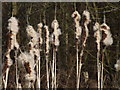 TQ1263 : Bulrushes, West End Common by Colin Smith