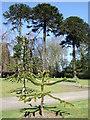 TA2069 : Monkey puzzle trees (Araucaria araucana), Sewerby Hall gardens by JThomas