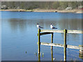 SD6301 : Black-headed Gulls at Bickershaw Lake by David Dixon