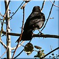 SJ9493 : Blackbird by the Trans Pennine Trail by Gerald England