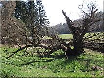 SJ2637 : The Crogen Oak by John Haynes