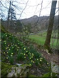 NY3404 : Daffodils under Loughrigg by Michael Graham