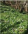 SX5157 : Wood anemones, Leigham Wood by Derek Harper