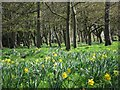 TQ5901 : Daffodils in Hampden Park by Oast House Archive