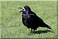 NY3684 : A rook at Langholm by Walter Baxter