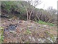 NR9974 : Rhododendron clearance by Oliver Dixon