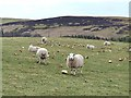 NO2858 : Sheep at Easter Coul by Oliver Dixon