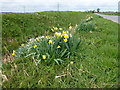 TF2925 : Daffs in the dike near Weston, Spalding by Richard Humphrey