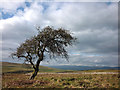 NY7305 : Solitary hawthorn, Lingy Intake by Karl and Ali
