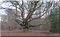 SP9910 : The Queen Beech (or Harry Potter tree) by Roger Jones