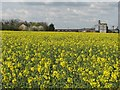 TL5246 : Oilseed rape field at Abington Park Farm by John Sutton