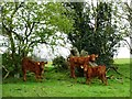 NZ1260 : Cattle in woodland, south of Lead Road by Christine Johnstone