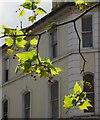 SX9164 : Plane tree, Union Street, Torquay by Derek Harper