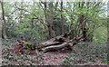 TQ4893 : New life from fallen trunk by Roger Jones