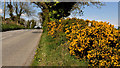 J4479 : Whin bushes,Ballydavey near Bangor by Albert Bridge