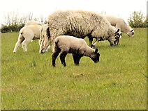 J4681 : Sheep, Crawfordsburn (2) by Albert Bridge