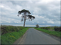 SE7466 : Lone pine tree on the road to Eddlethorpe by Pauline E
