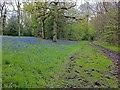 TQ1450 : Bluebells near Ranmore church by Hugh Craddock