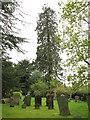 TQ3751 : Tall tree in Tandridge by Stephen Craven