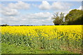 SO8645 : Oilseed rape in blossom by Philip Halling