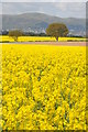 SO8645 : Oilseed rape fields by Philip Halling