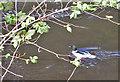 SE0756 : Goosander fishing the Wharfe by Pauline E