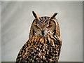 SD4615 : Saracen the Eagle Owl by David Dixon