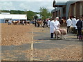 SX9891 : Devon County Show - livestock judging by Chris Allen