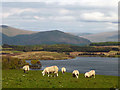 SD5790 : Sheep above Killington Reservoir by Karl and Ali