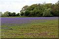 TF6733 : Bluebell Field, Snettisham, Norfolk by Christine Matthews